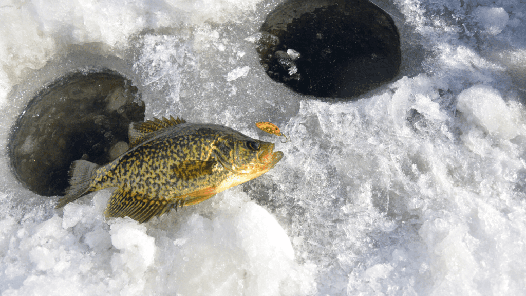 crappie laying on ice