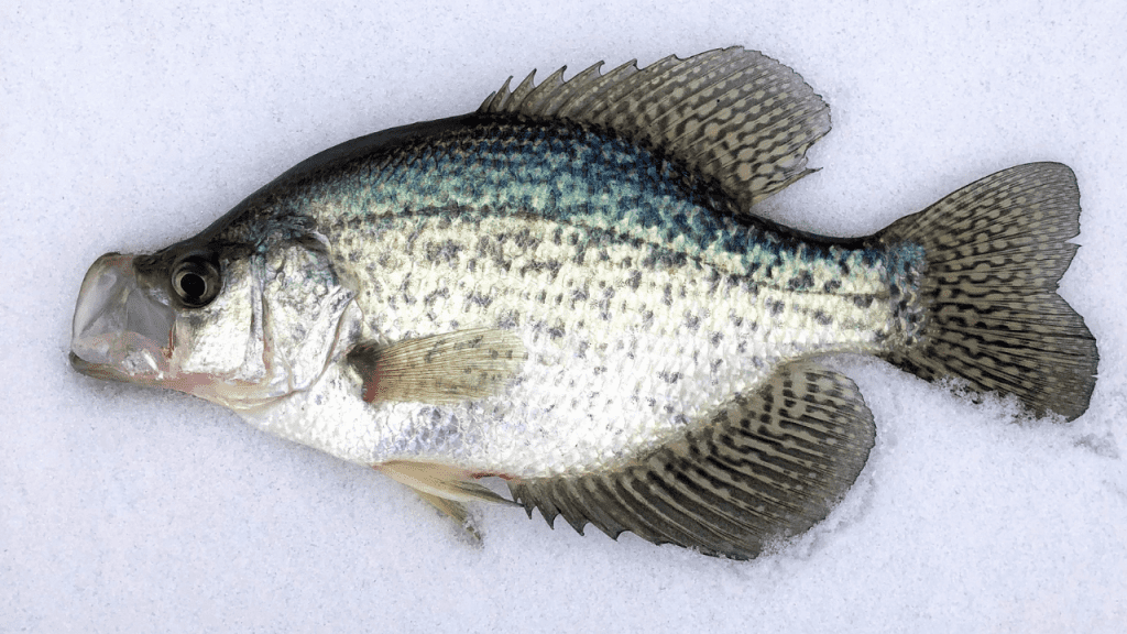 crappie laying on the ice