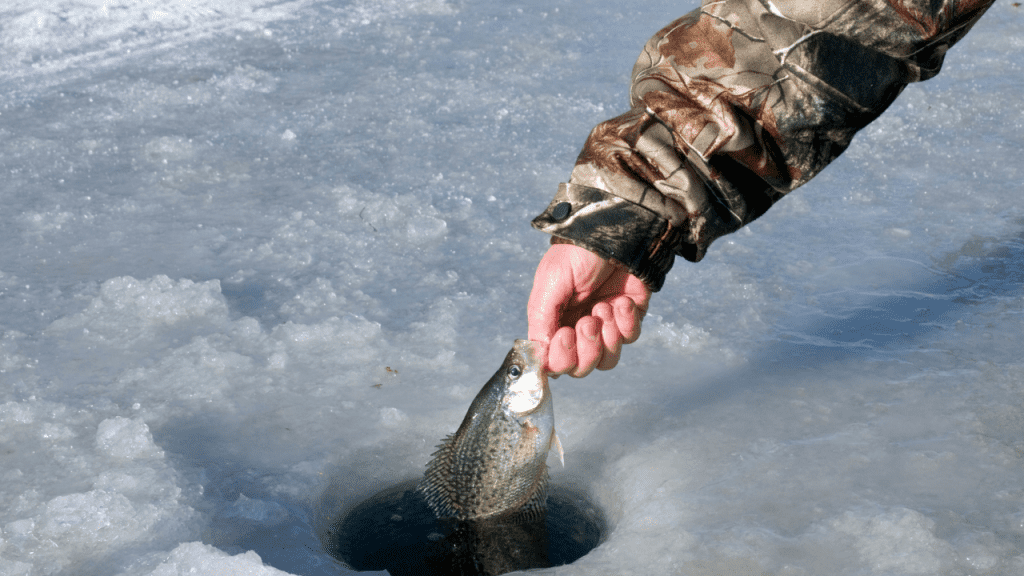 man pulling crappie from ice