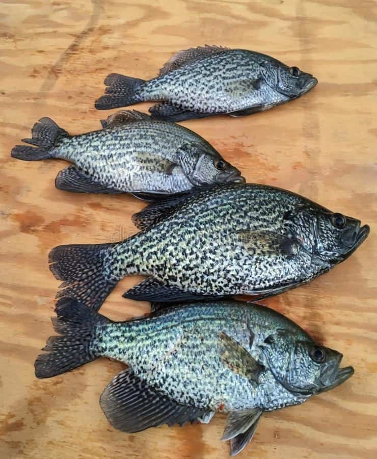 four crappie fish laying down