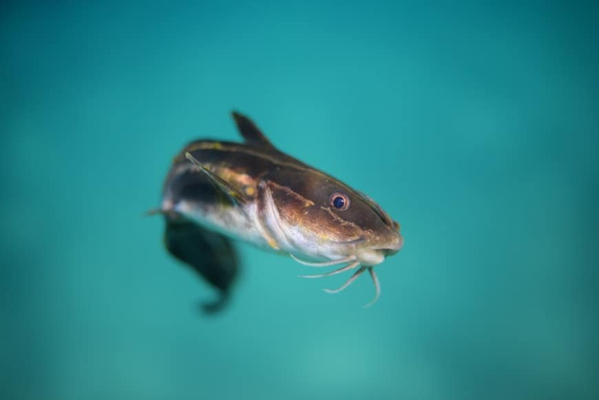 catfish in blue waters